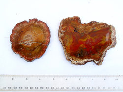 Red Petrified Wood Slice (3-5 inch) - 10 LB Lot