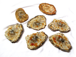 Petrified Wood Slices (9-10
