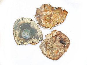 Petrified Wood Slices (5-7