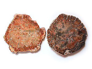 Petrified Wood Slices (7-8
