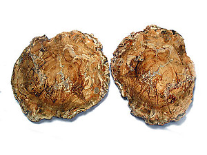 Petrified Wood Slices (12-14