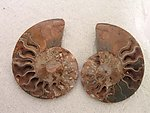 Ammonite Cut & Polished Pairs, 13-15cm - AA Quality