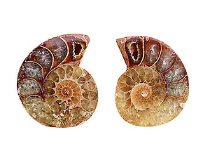 Ammonite Cut & Polished Jewelry Pairs, 1-3cm - AA Quality