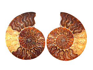 Ammonites 4-5inch AAA Quality - Pairs