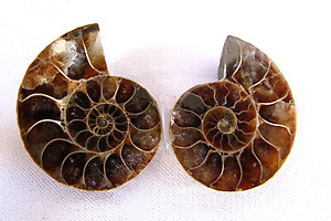 Ammonite Cut & Polished Jewellery Pairs, 1-3cm - AAA Quality - 3 Pairs