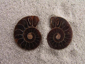Ammonite Cut & Polished Jewellery Pairs, 3-5cm - AAA Quality 2 Pairs