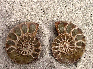 Ammonite Cut & Polished Jewellery Pairs, 5-7cm - AA Quality - 500 Pairs