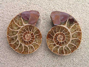 Ammonite Cut & Polished Jewellery Pairs, 5-7cm - AAA Quality
