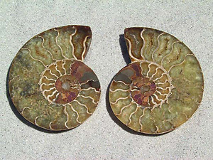Ammonite Cut & Polished Pairs, 7-9cm - AAA Quality