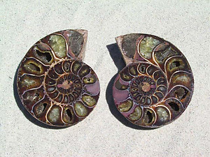 Ammonite Cut & Polished Pairs, 9-11cm-AAA Quality 9 Pairs