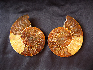Ammonites 4-5inch AAA Quality 2 pairs