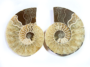 Ammonite Cut & Polished Jewelry Pairs, 5-7cm - AAA Quality