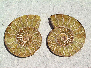 Ammonite Cut & Polished Pairs, 11-13cm - AAA Quality