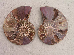Ammonite Cut & Polished Pairs, 13-15cm - AAA Quality