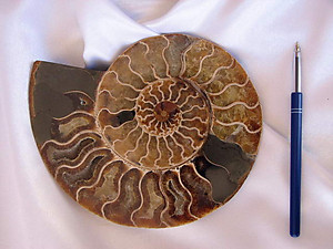 Ammonite Cut & Polished Pairs, 17-19 cm - AAA Quality