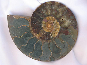 Ammonites 6-7 inch AA Quality 2 pairs