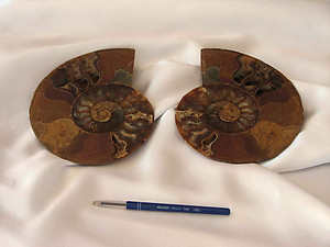 Ammonites 7-8 inch AA Quality 2pairs