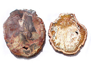 Petrified Wood Slice (7-8