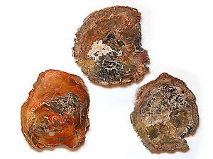 Petrified Wood Slices (14-16