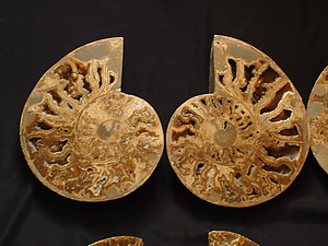 Ammonites Cut and Polished with Sutures (10-12 inch) AAA Quality