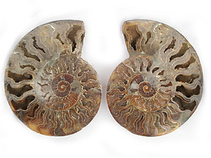 Ammonites Cut and Polished 7-8 inch - Pairs - AAA Quality