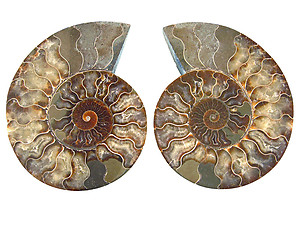 Ammonites Cut and Polished 6-10 inch - Pairs - AAA Quality