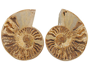 Ammonites Cut and Polished with Sutures (8-10 inch) AAA Quality