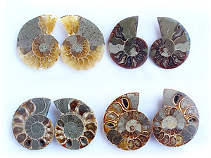 Ammonite Cut & Polished Jewelry Pairs, 5-7cm - AA Quality