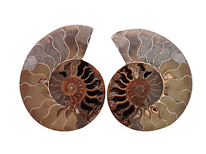 Ammonite Cut & Polished Pairs, 7-9cm - AA Quality