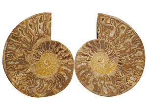 Ammonites Cut and Polished with Sutures (10-12 inch) AA Quality