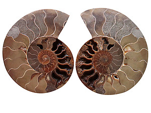 Ammonites 4-5inch AA Quality - Pairs