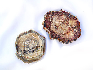 Petrified Wood Slice (3-4