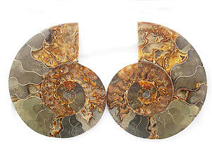 Ammonites Cut and Polished 6-7 inch - Pairs - AA Quality