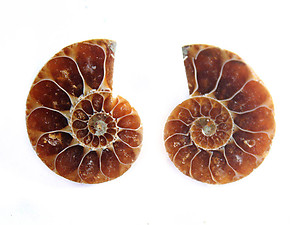 Ammonite Cut & Polished Jewelry Pairs, 1-3cm - AAA Quality