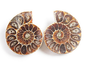 Ammonite Cut & Polished Jewelry Pairs, 3-5cm - AAA Quality