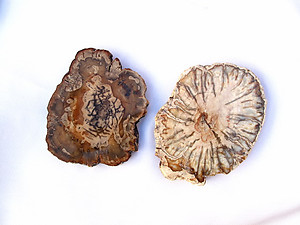 Petrified Wood Slice (1-3 inch) AAA Quality 40 LB Lot