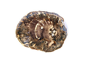 Petrified Wood Slices (1-3