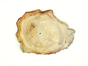 Petrified Wood Slices (6-7