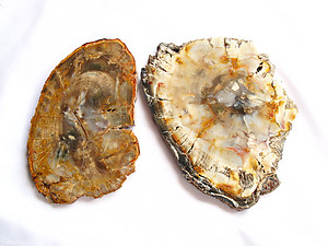 Petrified Wood Slices (8-9