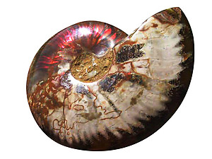 Whole Polished Ammonite with Iridescence, 11-13cm