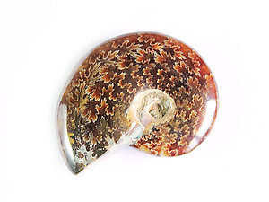 Whole Polished Ammonites with Suture Patterns, 3-5cm