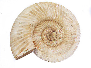 Whole White Ammonites, 11-13cm