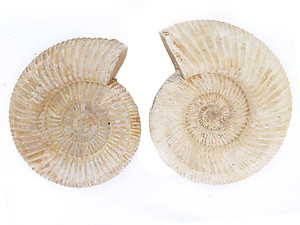 Whole White Ammonites, 13-15cm