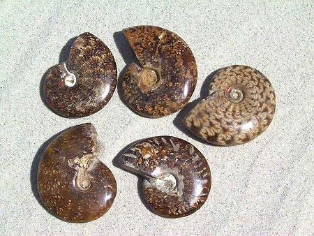 Whole Polished Ammonites with Suture Patterns, 5-7cm