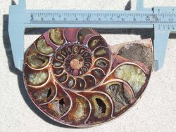 Ammonite Cut & Polished Pairs, 9-11cm-AAA Quality 17 Pairs