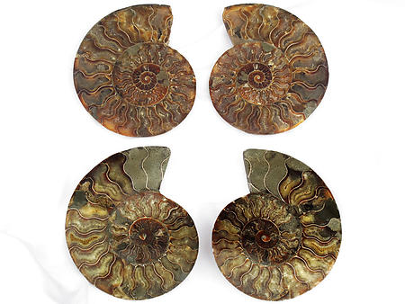 Ammonites Cut and Polished 6-7 inch - Pairs - AAA Quality
