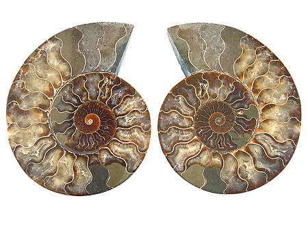 Ammonites Cut and Polished 8-10inch - Pairs - AAA Quality