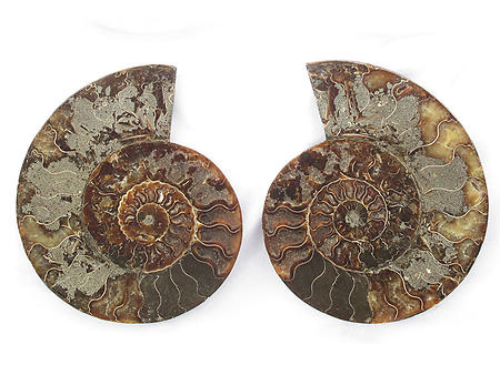 Ammonites Cut and Polished 7-8 inch - Pairs - AA Quality
