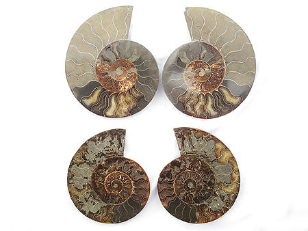 Ammonites 5-6 inch AA Quality - Pairs