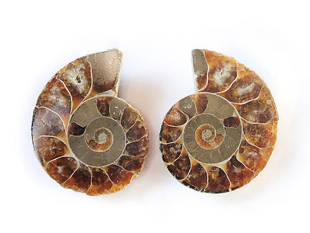 Ammonite Cut & Polished Jewelry Pairs, 3-5cm - AA Quality